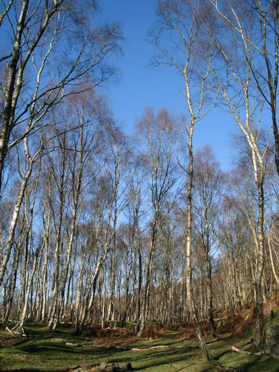 Silver Birch at Bolehill, Hope Valley