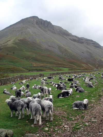 Herdwick sheep below Great Gable
